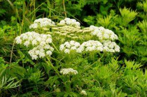 礼文島の初夏の花